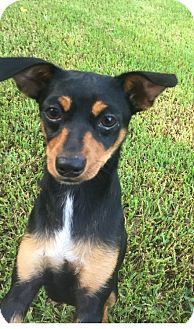 Miniature Pinscher/Terrier (Unknown Type, Small) Mix Dog for adoption in Spring, Texas - LISA