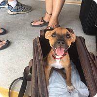 Adopt A Pet :: Pauly - Island of Anguilla Pup - Salamanca, NY