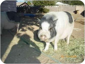 Pig (Potbellied) for adoption in Las Vegas, Nevada - Sweat Pea