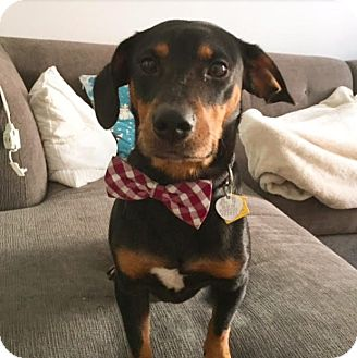Dachshund Mix Dog for adoption in New York, New York - Marco