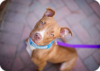 American Pit Bull Terrier Mix Puppy for adoption in Reisterstown, Maryland - Pippy