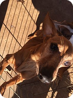Dachshund Dog for adoption in Blanchard, Oklahoma - Red