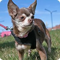 Adopt A Pet :: Lovey - Mt. Prospect, IL