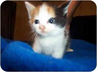 Calico Kitten for adoption in Frenchtown, New Jersey - Annabel