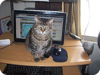 Domestic Shorthair Cat for adoption in Pekin, Illinois - Baby - $25 Adoption Fee