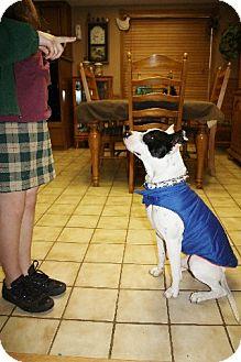 Dalmatian/Pit Bull Terrier Mix Dog for adoption in Largo, Florida - Petey  **Courtesy Post**