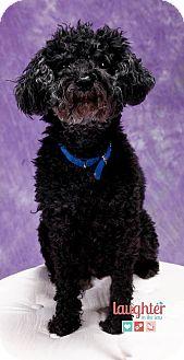 Poodle (Miniature) Mix Dog for adoption in Las Vegas, Nevada - Renoir