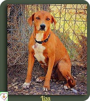 Vizsla/Treeing Walker Coonhound Mix Dog for adoption in Eddy, Texas - Liza