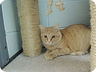 Domestic Shorthair Cat for adoption in House Springs, Missouri - Ebee