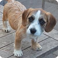 Adopt A Pet :: sage - houston, TX