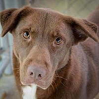 Labrador Retriever Dog for adoption in Hilton Head, South Carolina - Honeybee