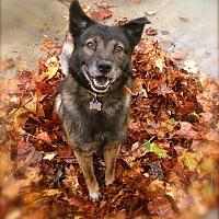 Adopt A Pet :: Handsome Ziggy - Los Angeles, CA