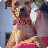 Adopt A Pet :: Molly-Adopted! - Detroit, MI
