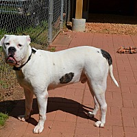 American Bulldog Dog for adoption in Hampton, Georgia - FLASH