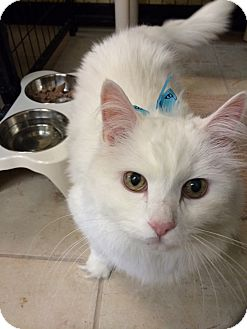 Domestic Longhair Cat for adoption in Bonner Springs, Kansas - Snowball