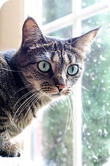 Domestic Shorthair Cat for adoption in Ashland, Massachusetts - Gail