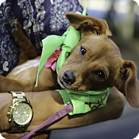 Adopt A Pet :: Isla - Alpharetta, GA