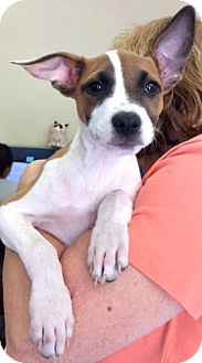 Labrador Retriever/Border Collie Mix Puppy for adoption in Boulder, Colorado - Millie-ADOPTION PENDING