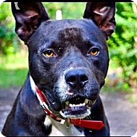 Adopt A Pet :: Brutus - Jacksonville, NC