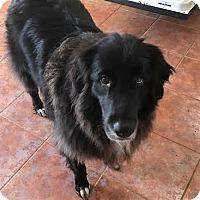 Adopt A Pet :: Roxy Girl - Oakley, CA