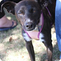 Adopt A Pet :: Chloe - Wichita Falls, TX