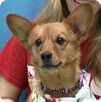 Pomeranian Mix Dog for adoption in Evansville, Indiana - Prince