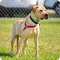 Adopt A Pet :: SANDY - Vero Beach, FL
