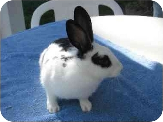 Other/Unknown Mix for adoption in Santee, California - Nicolette