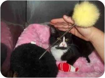 Domestic Shorthair Kitten for adoption in Little Neck, New York - TUX