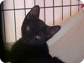 Domestic Shorthair Kitten for adoption in Lunenburg, Massachusetts - Luke