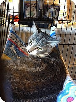Domestic Shorthair Cat for adoption in Dale City, Virginia - Louie