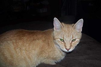 Domestic Shorthair Cat for adoption in Columbia City, Indiana - Autumn