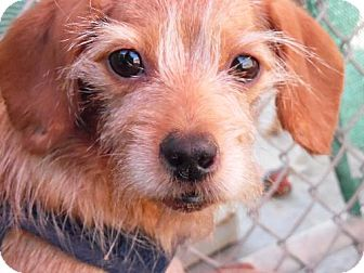 Terrier (Unknown Type, Medium) Mix Dog for adoption in Apple Valley, California - Kasey