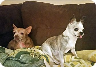 Chihuahua Dog for adoption in Durham, North Carolina - Joy and Pepe