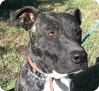 Catahoula Leopard Dog/Terrier (Unknown Type, Medium) Mix Dog for adoption in Tyler, Texas - AA-Tigger