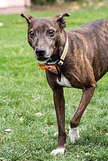 Greyhound/Feist Mix Dog for adoption in Tonawanda, New York - Erkel
