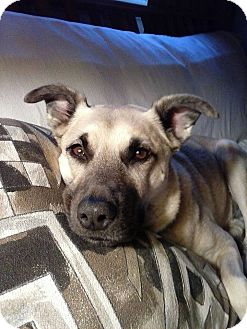 Shepherd (Unknown Type)/Husky Mix Dog for adoption in St Clair Shores, Michigan - Jess