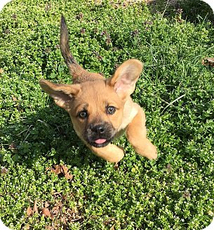 Pug Mix Puppy for adoption in Bowie, Maryland - Patsy Cline