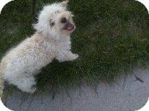Bichon Frise/Poodle (Miniature) Mix Dog for adoption in Alliance, Nebraska - Bixby