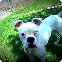 Adopt A Pet :: Balboa - Gadsden, AL