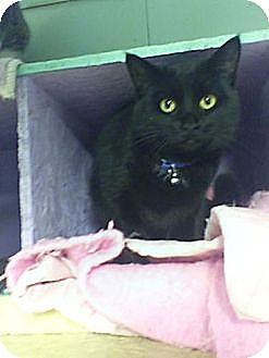Domestic Shorthair Cat for adoption in Bay City, Michigan - Onyx