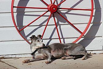 Italian Greyhound Dog for adoption in Argyle, Texas - Blue in Oklahoma