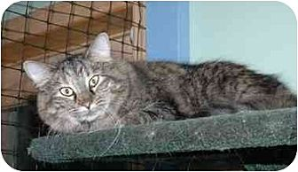 Domestic Longhair Cat for adoption in Cincinnati, Ohio - Hope