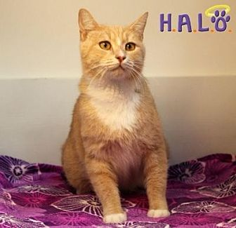 Domestic Shorthair Cat for adoption in Sebastian, Florida - Joseph