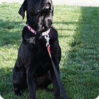 Labrador Retriever Mix Dog for adoption in Sun Valley, California - Tigress