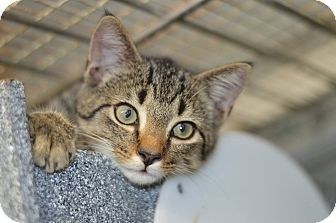 Domestic Shorthair Kitten for adoption in Smithtown, New York - Theo