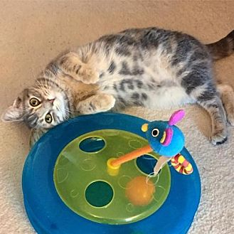 Domestic Shorthair Kitten for adoption in Trexlertown, Pennsylvania - June