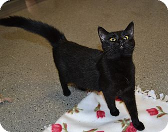 Domestic Shorthair Cat for adoption in Michigan City, Indiana - Scarlett