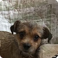 Adopt A Pet :: Riley - Tumwater, WA