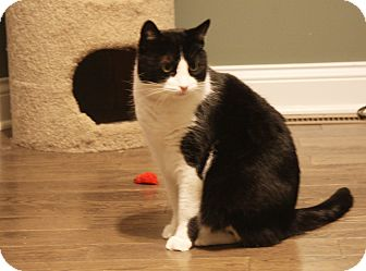Domestic Shorthair Cat for adoption in Freeland, Michigan - Tweety